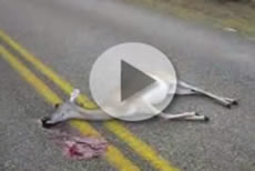 Motorcycle vs Deer