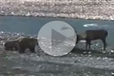 Bear vs Caribou Video