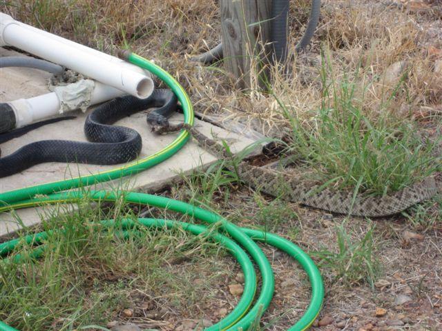 Blue Indigo Snake