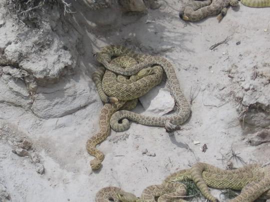 Rattle Snakes - Matagorda Beach