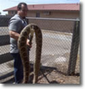Monster King Ranch Rattlesnake